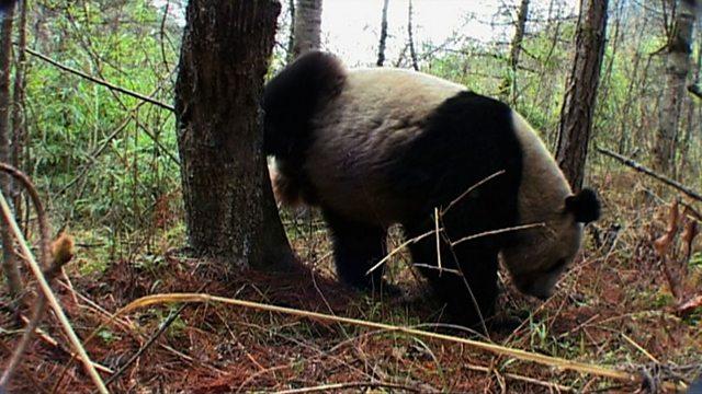 Panda perfume
