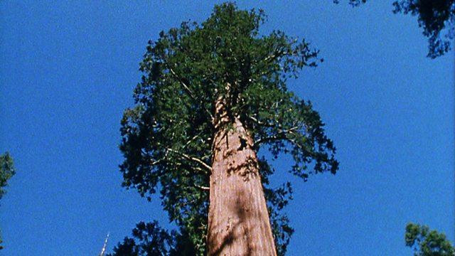 Tree trumps