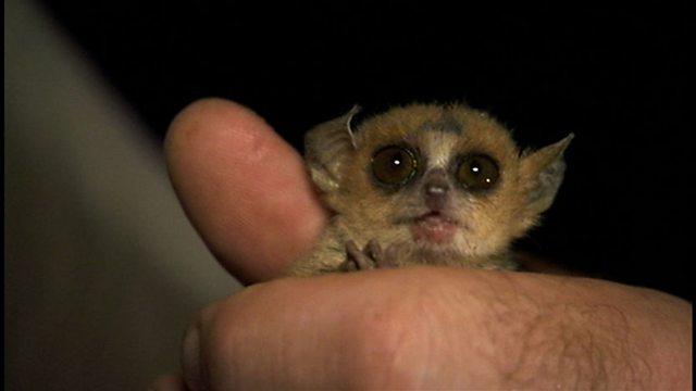 Littlest lemur