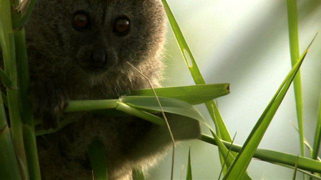 Lac Alaotra lemur