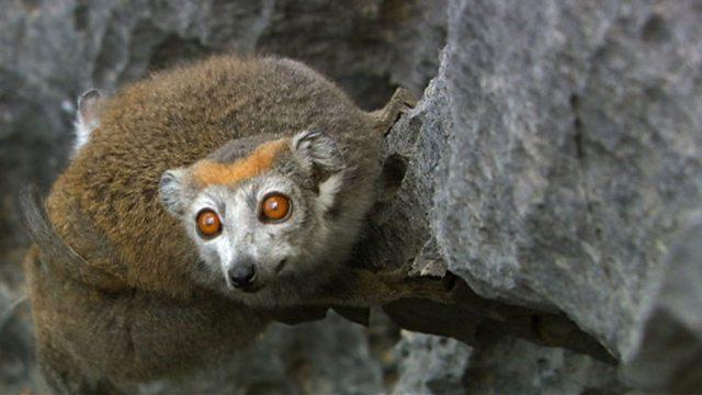 Rock climbing lemurs
