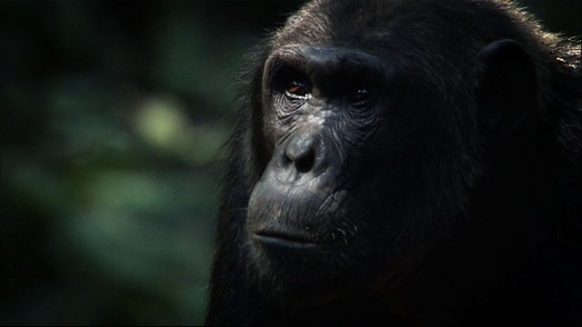 Chimp hunt blunder