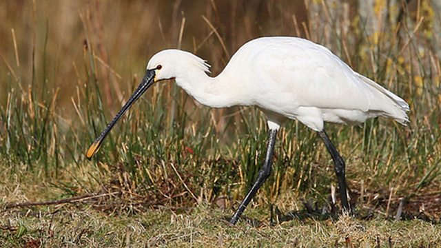 Spoon fed egret