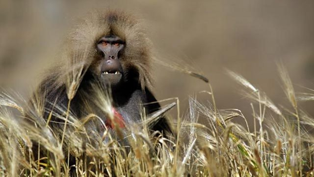 Gelada monkey attack