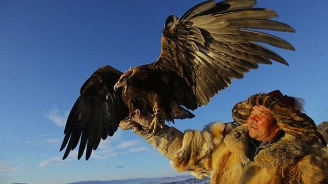 Fox hunting with a golden eagle