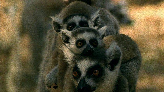 Lemur paradise