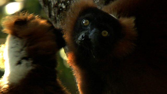 Looting lemurs
