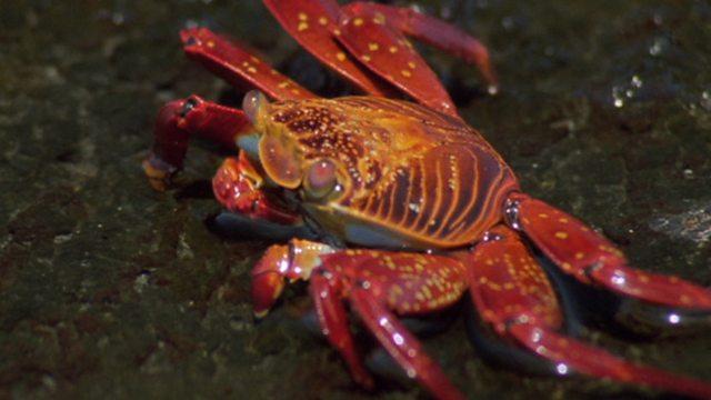 Landgrab crabs