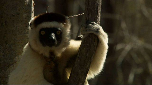 Sifakas revisited