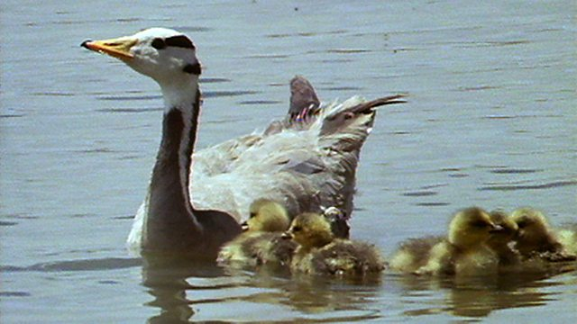 Goose nesting site