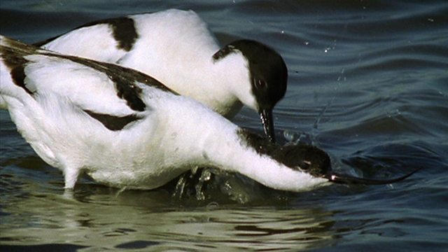 Return of the avocet