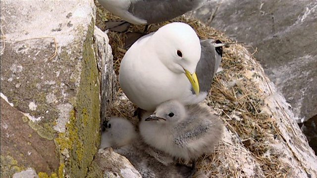 Sitting kittiwakes