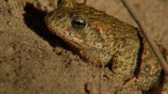 Natterjack toads