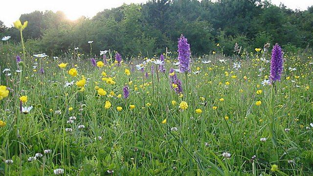Wild hay meadows