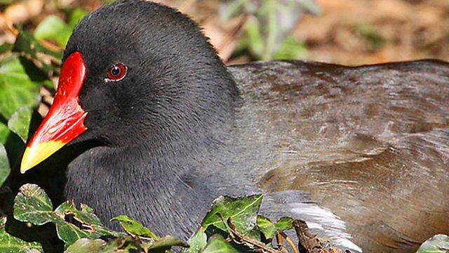 Moorhen nesting habits