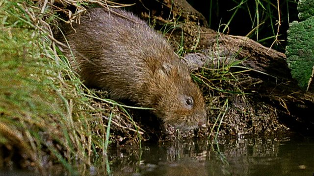 A water vole's history of Britain