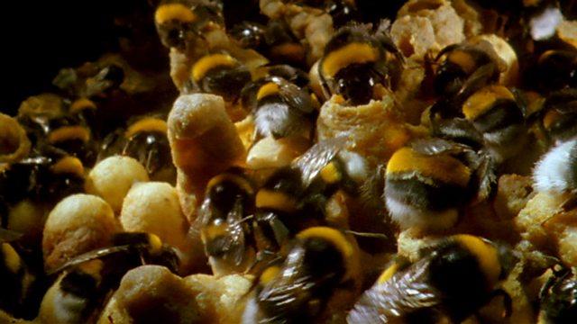 Bumblebee nests