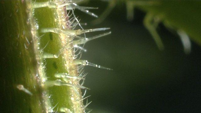 How do stinging nettles sting?
