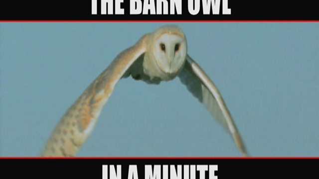 In a minute: the barn owl