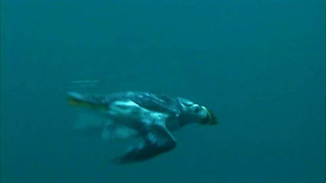 Snorkelling with puffins