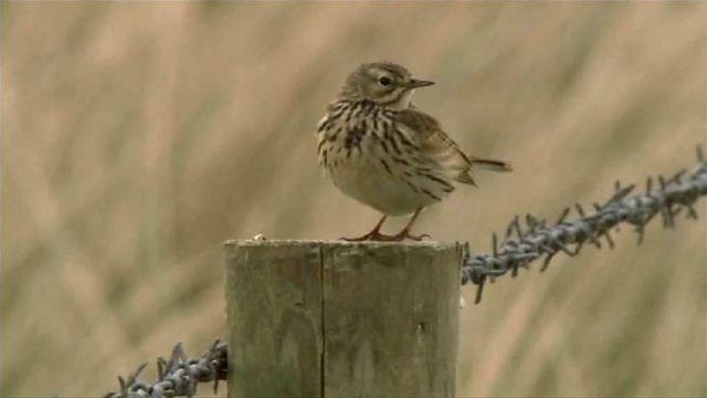 Skylarks sing at Royal St George