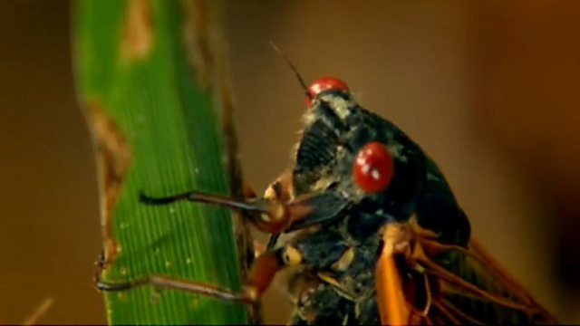 The periodical cicada - safety in numbers
