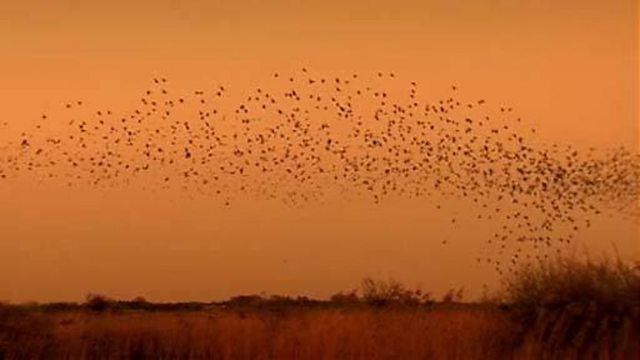 Starlings - The Black Sun