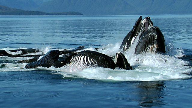 Humpbacks fishing
