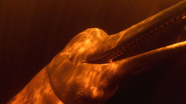 River dolphin senses