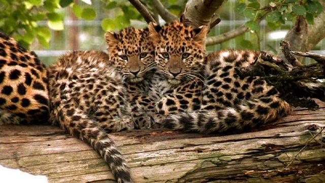Amur leopard triplets