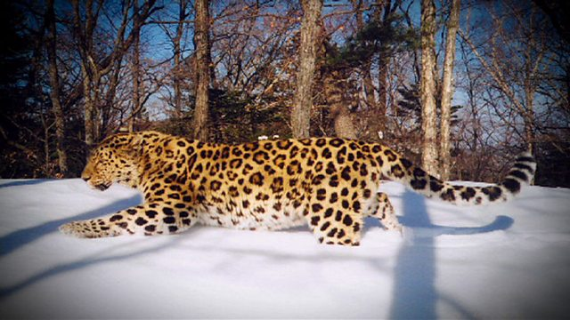 Elusive leopards