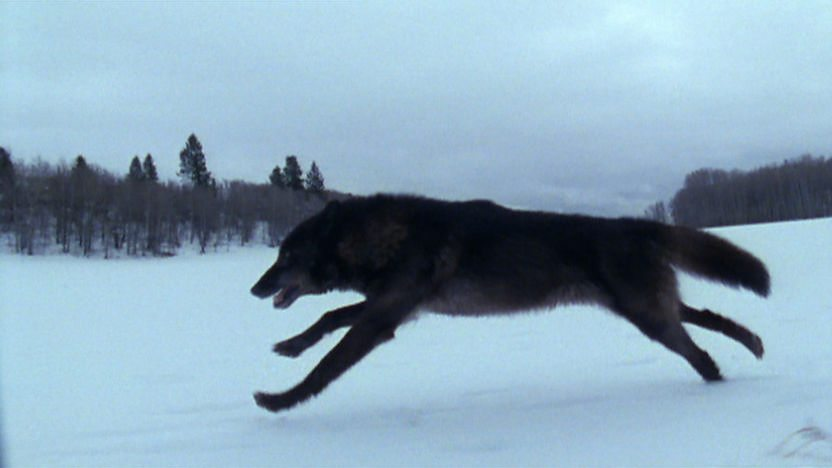 A wolf running across a snowy landscape.