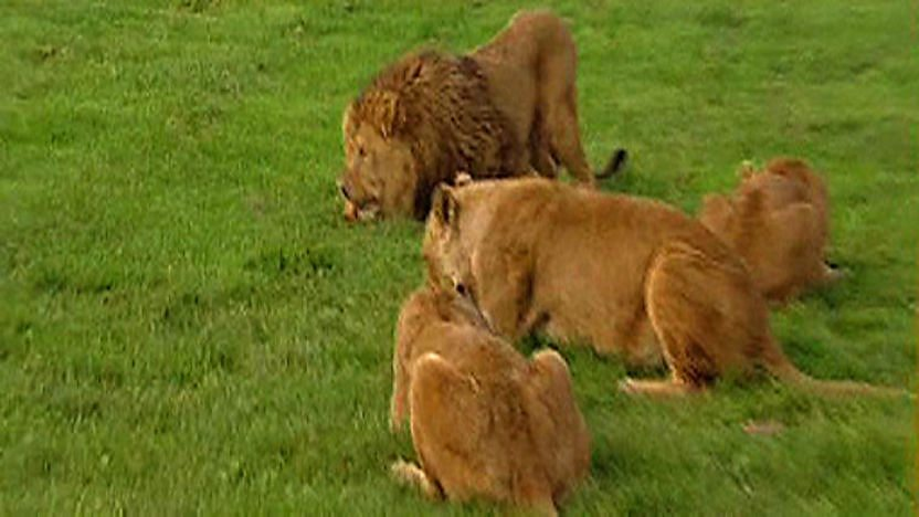 A pride of lions eating
