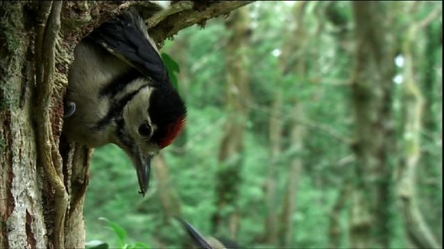 Woodpeckers fledge