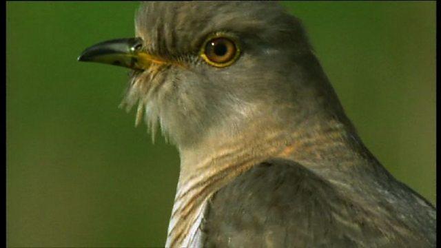 Cuckoo tracker