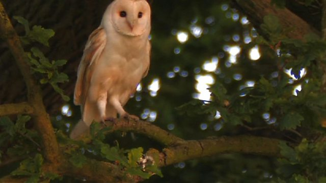 Barn owl bond