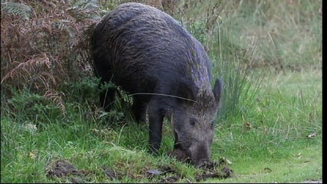 Roaming boar