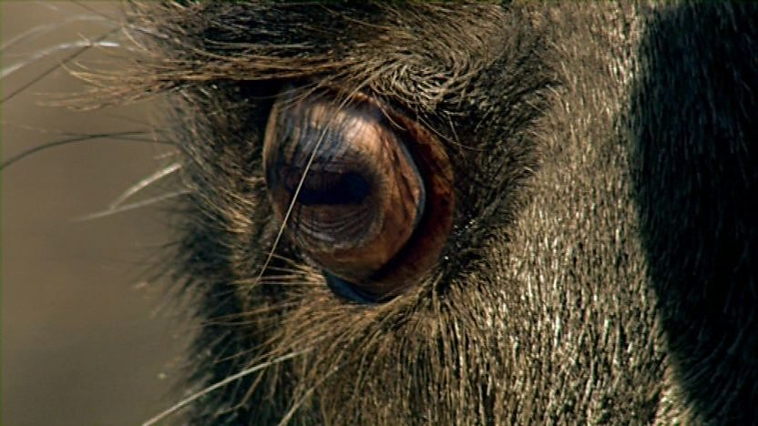 The eye of a wildebeest.