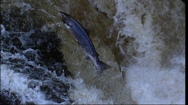 Slow motion salmon