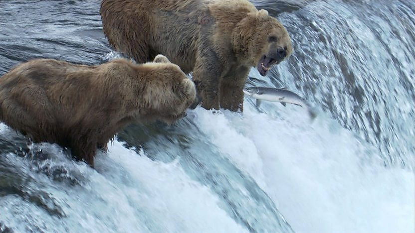 Two grizzly bears catching salmon in a river.