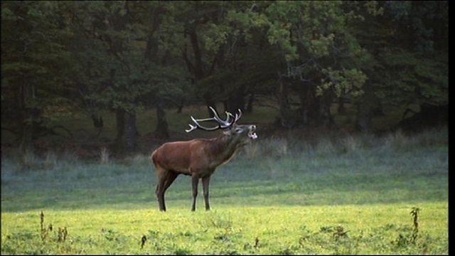 Exmoor deer rut
