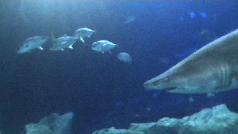 Sand tiger shark with fish