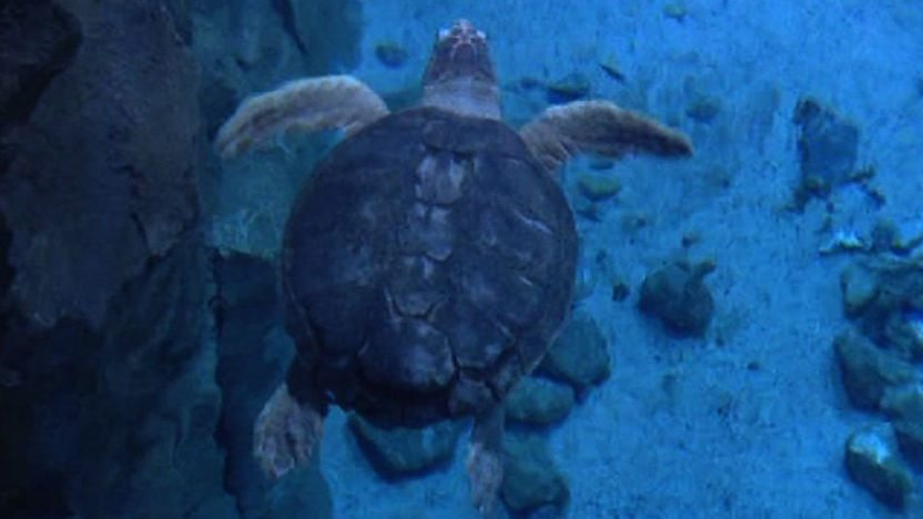 Snorkel the loggerhead turtle