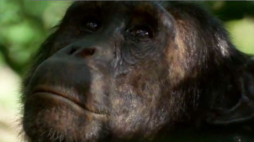 A Chimpanzee.