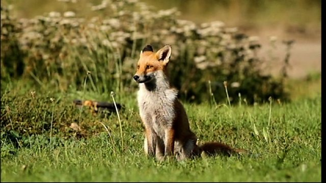Pitsea fox family