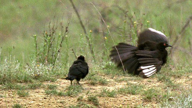 Chicknapped!