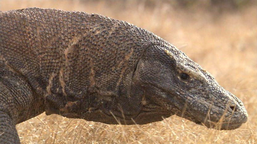 Komodo dragon vs crocodile
