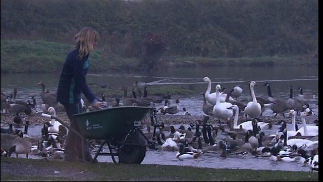 Slimbridge swan feed