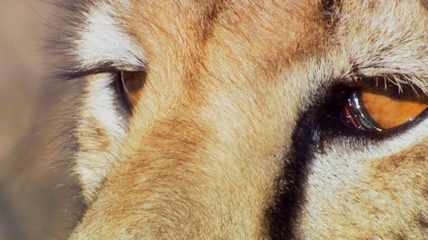 A cheetah&#39;s eyes.