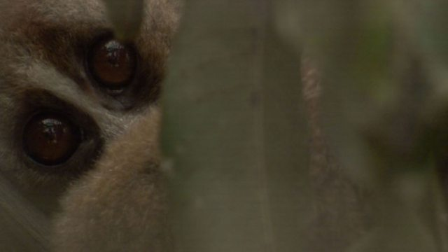 Mysteries of slow loris toxin